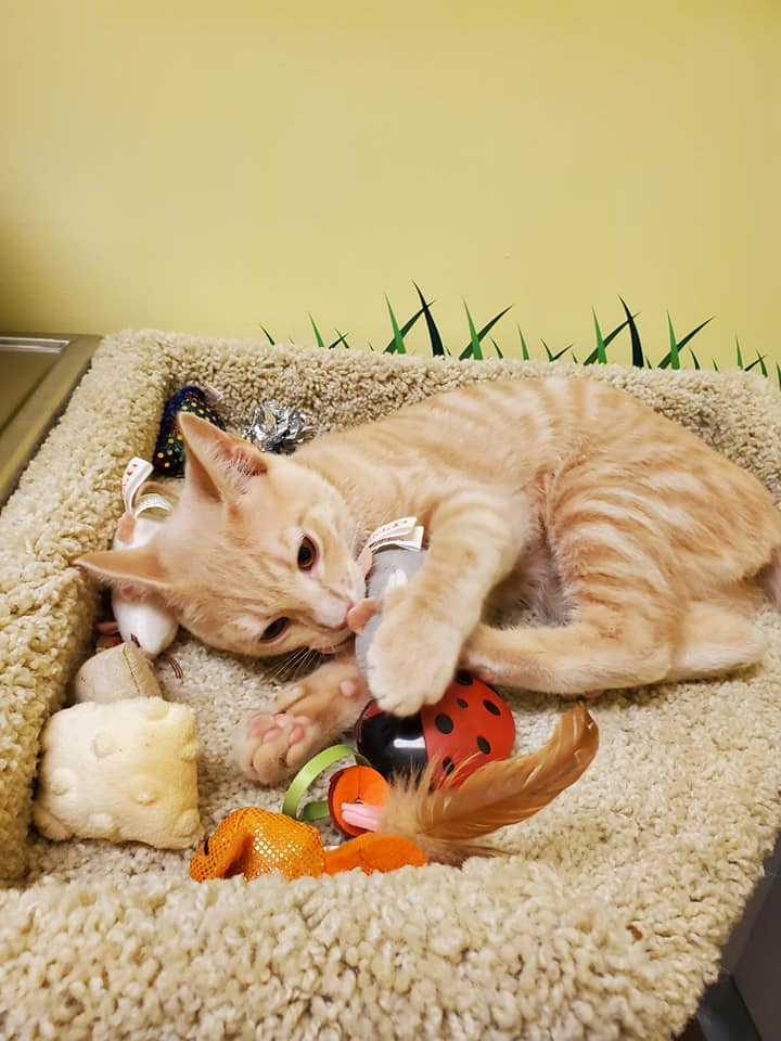 orange cat playing with toys